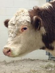 Dudley the cow is coming to live in Knox County.