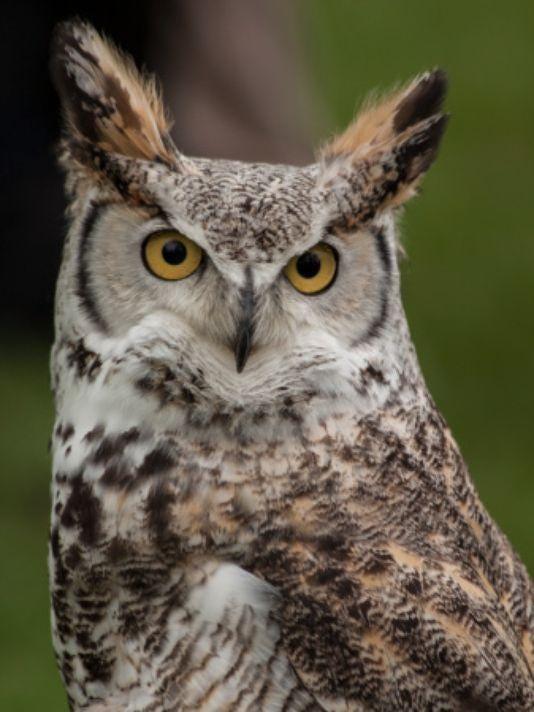 Owl (DNR weekly photo)