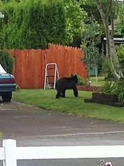 A young black bear that was reported to have been roaming around West Salem at the end of May.
