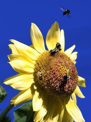 A bumblebee flies above a sunflower as others gather nectar and pollen from the flower's seed disk.