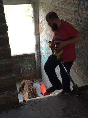 Anthony Barchock, pictured, and Andy Didorosi attempt to scare the tiger down the stairs to be captured.