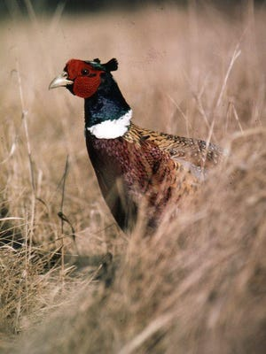 The DNR roadside survey shows pheasant numbers up 33 percent over 2014, but down long term.