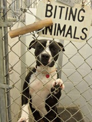 A pit bull looks out of a kennel in the quarantine