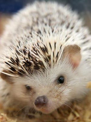 This hedgehog was one of hundred of small animals seized from a Muncie residence in 2014.