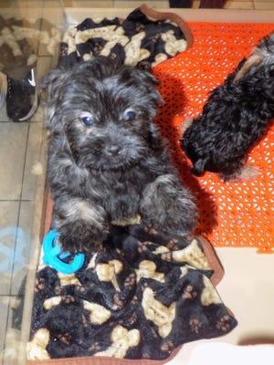 A peke-a-poo, a cross between a Pekingese and a poodle, was among recent options at Petland Novi.