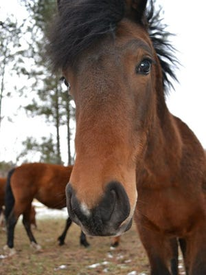 The tragic fate of Rock Star, a member of the local wild herd sold for slaughter, cauesd an uproar and helped forge a new understanding between advocates and state officials about responsibility for the horses.
