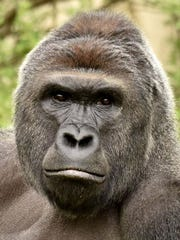 Undated photo of gorilla Harambe.