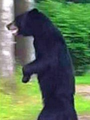 Pedals, a bear spotted in parts of Jefferson and Rockaway