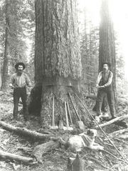 Lumberjacks use a whipsaw; circa 1890.