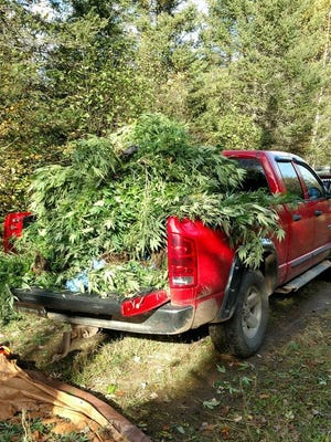 Some of the marijuana authorities said three Milwaukee area men were growing in Forest County in 2016 fills up the back of a pickup truck.