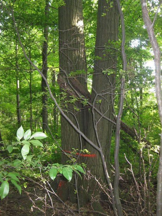 Michigan's trees.jpg