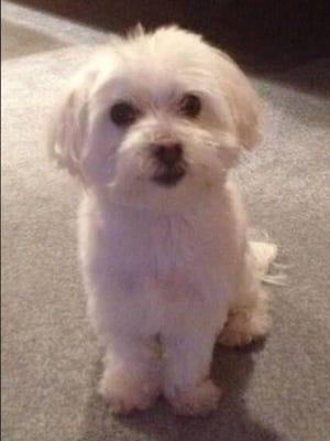 Stolen Maltese dog.