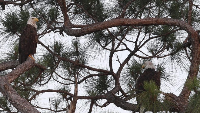 "Harriet the bald eagle, right, sits in a pine tree near what area photographers and eagle fans have referred to as ""Frequent Visitor"", another eagle who arrived after Ozzie was injured, Wednesday in North Fort Myers."