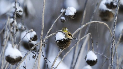 An American goldfinch feeds in the snow at Forks of the River Wildlife Management Area Saturday, Jan. 7, 2017. TVA set a near-record for weekend power demand that weekend.