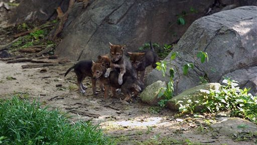 This photo provided by the Jackson Zoo shows four of the zoo?s seven endangered red wolf pups outside their den on May 1, 2014. Eight pups were born March 30 at the zoo in Jackson, Mississippi. One had to be euthanized because of a leg injury but the others are healthy.