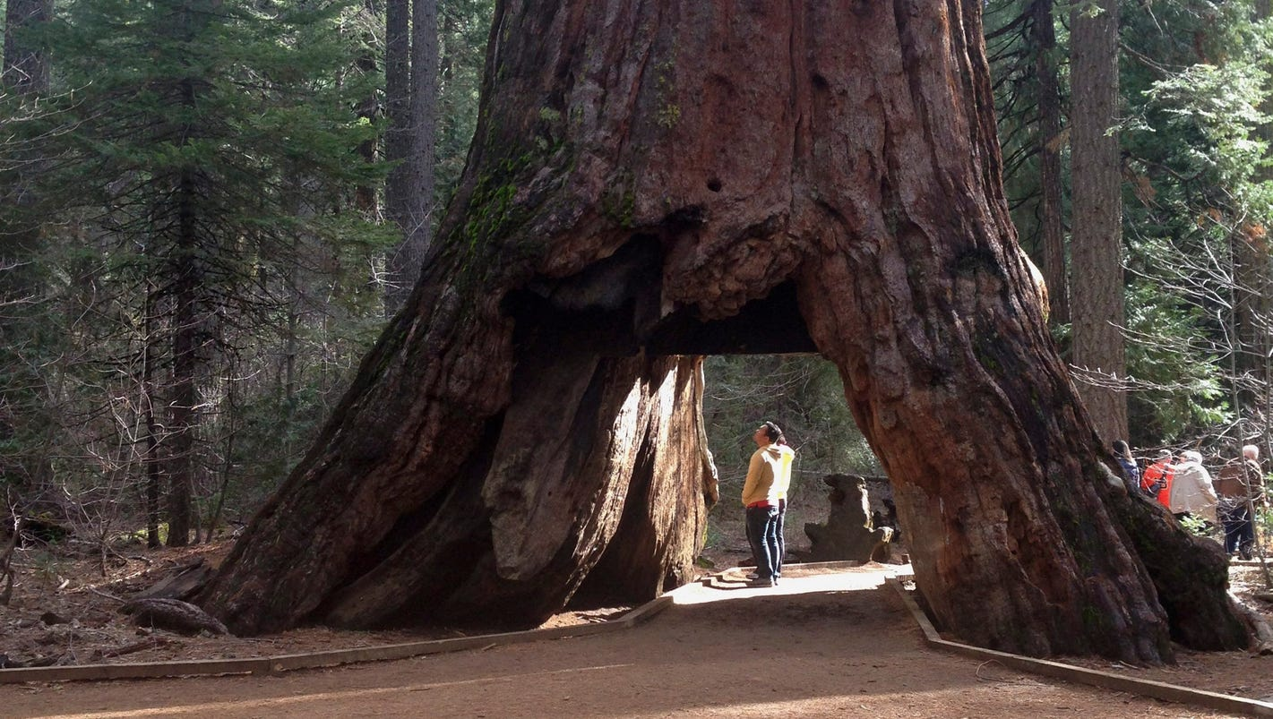 Iconic california sequoia tunnel tree destroyed in storm arubaitofo Gallery