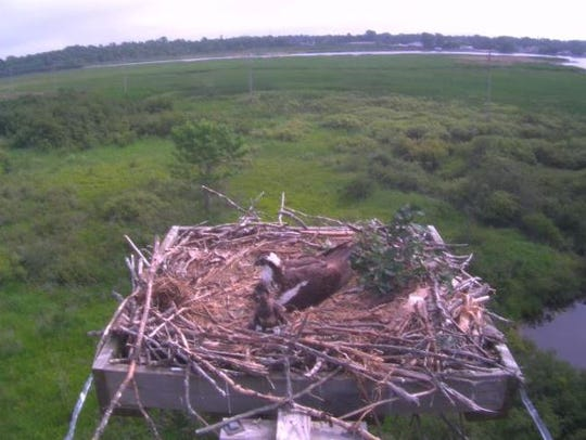 The female osprey sits with her new baby chick, Solstice,
