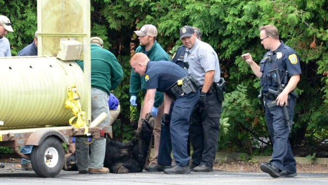 Wisconsin Department of Natural Resources staff and Green Bay police on Thursday load the bear into a trap to be moved out of the city and released safely elsewhere.
