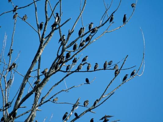 636195610606059609-starlings-in-tree.jpg