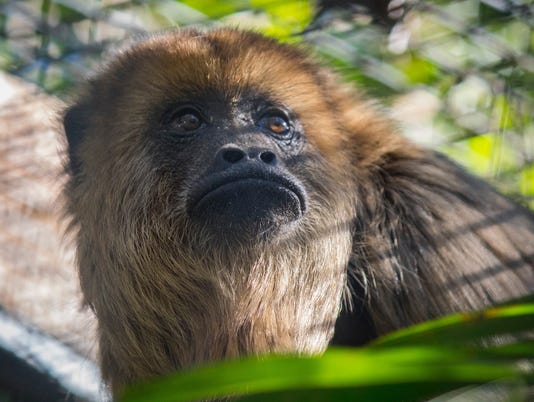 636493790364283700-Monkey-1.jpg