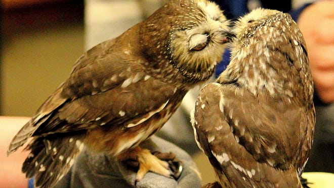 Saw-whet owls Nod and Hamlet, will make an appearance at the SAHC and Highland Brewing Co. Saw-whet celebration Feb. 29.