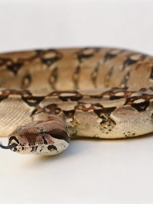An example of a boa constrictor.