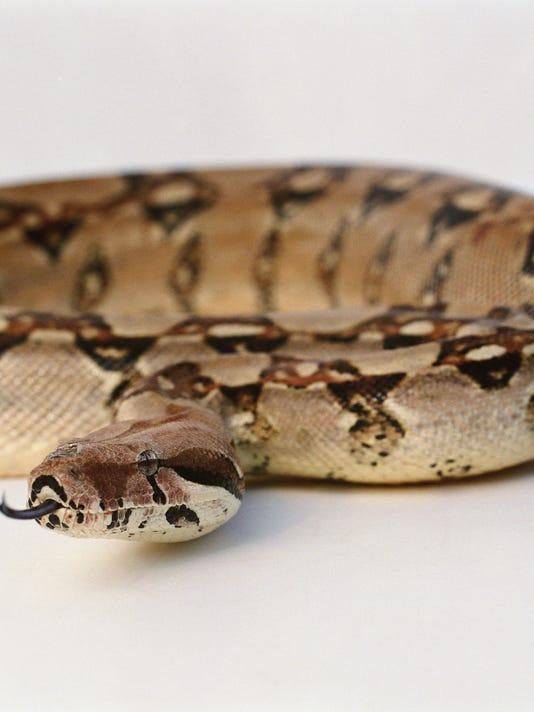 #stock Boa constrictor Snake Stock Photo