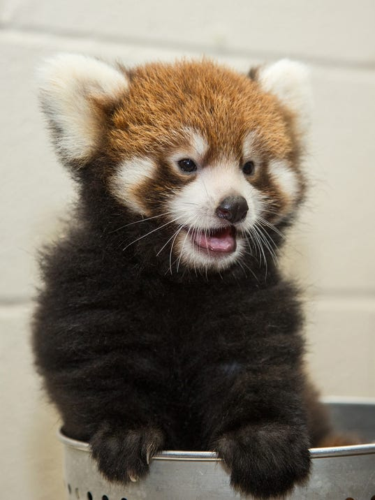 Red Panda Cub 2014 - Amiee Stubbs.jpg