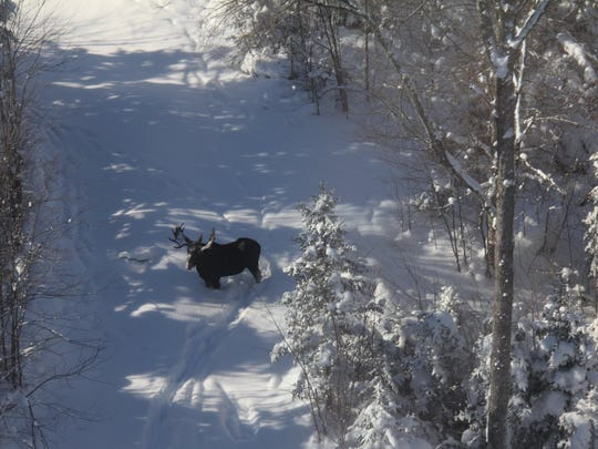 The state Department of Environmental Conservation in February 2018 posted several photos of moose in the Adirondacks as part of a multi-year aerial project.