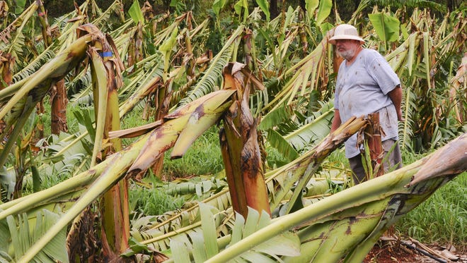 "Farmer of 32 years, Bernard Watson stands among damaged banana trees in one of several fruit producing fields on his Yigo farm on May 20, 2015. Watson says about 4,000 banana tree and other agricultural producing plants, on his eight-acre farm, are a ""total loss"" after being damaged by high winds during the passage of Typhoon Dolphin on Friday. Watson says, with the materials, labor and the destroyed crop, he estimates a financial loss of $200,000 at his farm."