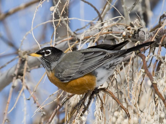 Typically 1,000 to 2,000 robins are counted during Christmas bird counts in Montana, according to Montana Audubon.
