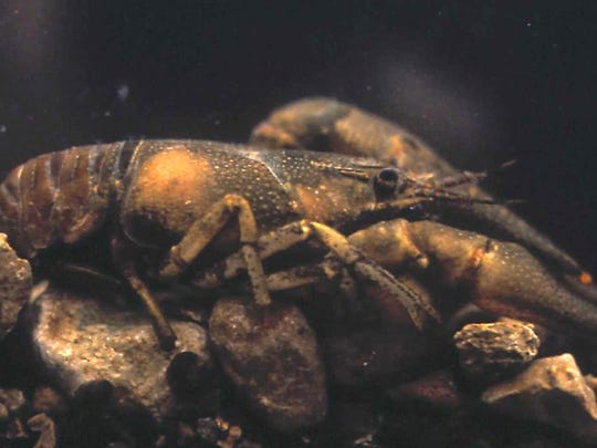 The endangered Nashville crayfish lives in Mill Creek and its tributaries.