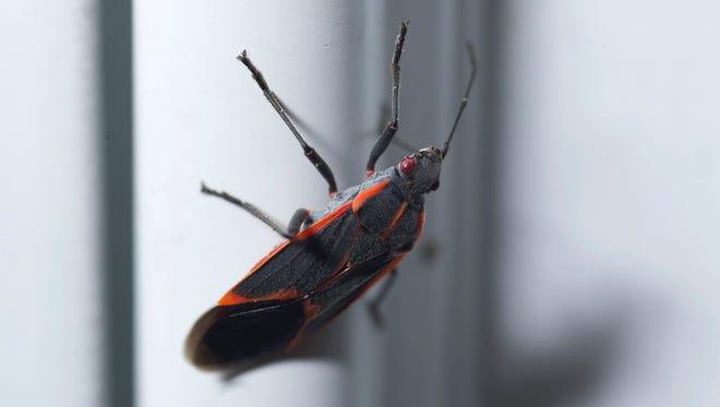 The Boxelder bug