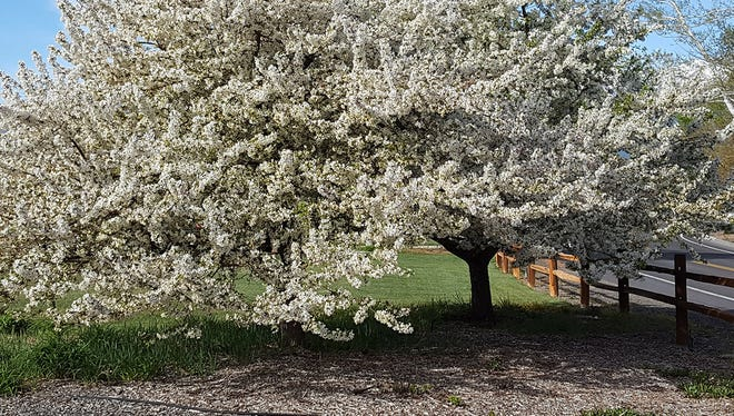 A properly mulched crabapple tree.