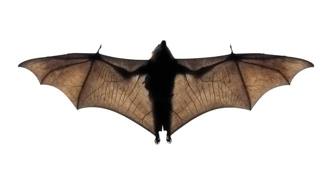 Interaction with bats could lead to rabies infection.