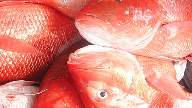 Anglers and charter captains are required to report red snapper harvests this year.