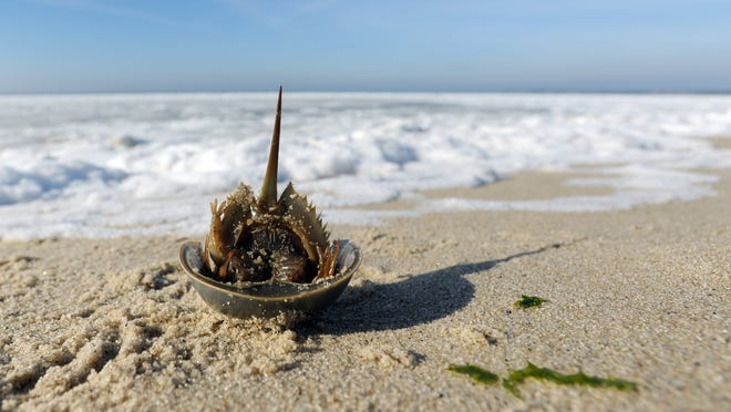 A shell from a molted horseshoe crab sits upside down on Harding Beach in Chatham. Horseshoe crab blood is being used to help test for a potential coronavirus vaccine.