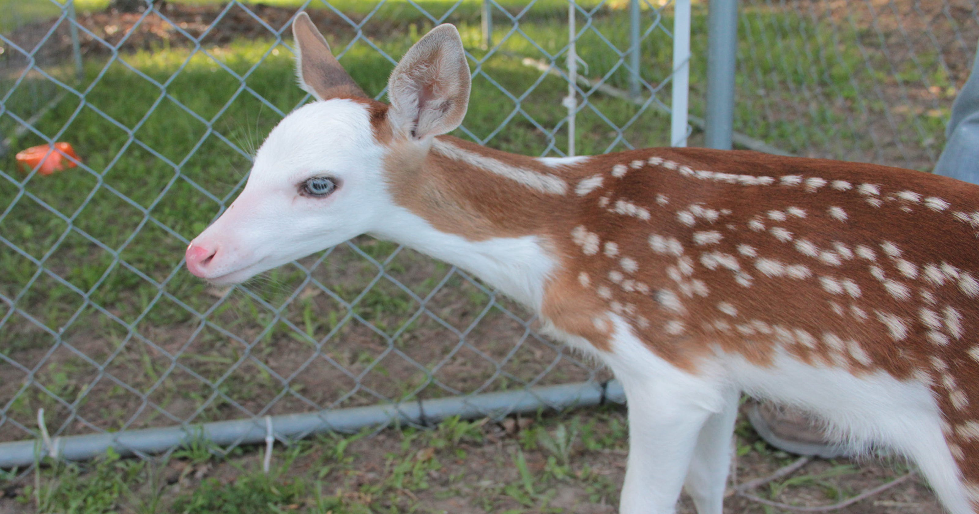 Sanctuary Saves Rare Fawn That Its Mom Tried To Kill
