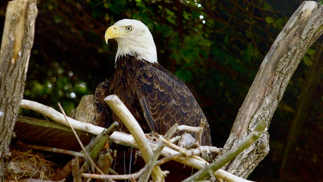 An American bald eagle is shown sitting on its perch at Wildwood Zoo in this News-Herald Media file photo. Eagles inhabit all but three counties in Wisconsin.
