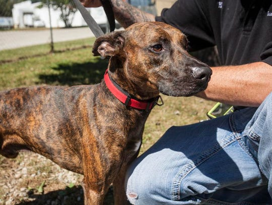 A a male shepherd-pit bull mix plays at the Muncie