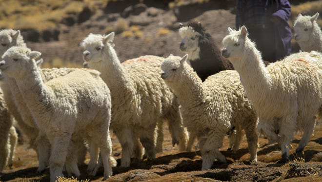 Many communities in Peru, South America, rely heavily on Alpacas like these to sustain a livelihood. Alpaca fiber is sold globally for clothing and other material goods and provides a means to survive.
