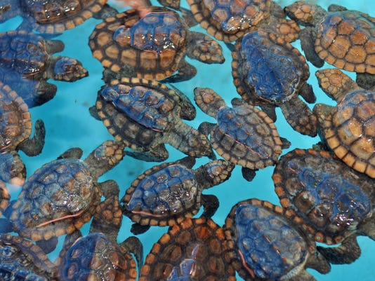 Sea turtles at Brevard Zoo