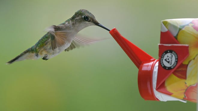 BARRE - A hummingbird sips nectar from a feeder on Sunday. According to the Massachusetts Audubon Society, the ruby-throated hummingbird is the smallest breeding bird found in the state.