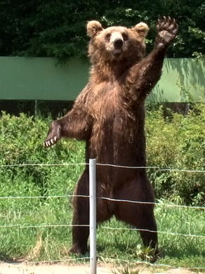 2011: Two European brown bears wave to passing cars in the Safari at Six Flags Great Adventure.