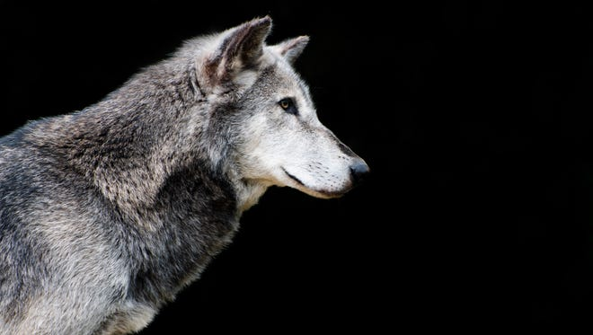 Gray wolf is well-established in the western Great Lakes and Northern Rockies after facing near-extermination in the last century.