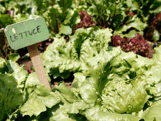 Various types of lettuce grow in vegetable gardens