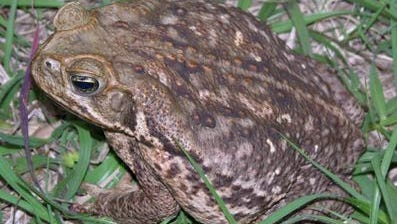 The cane toad (Bufo marinus) can hurt or kill pets.