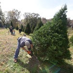Andrew Stewart fells a Christmas Tree for Randy and Lelinda Ladner, background, at The Resting Place Lowrey Tree Farm in Flora on Friday.  The Madison couple brought their son, Micah Ladner, and granddaughters, Maddie and Alexis Deleo, along to help select a tree.