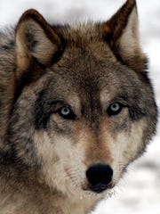 Visitors to South Salem's Wolf Conservation Center can learn all about the lives of wolves in the winter and meet a few of the site's ambassador wolves.