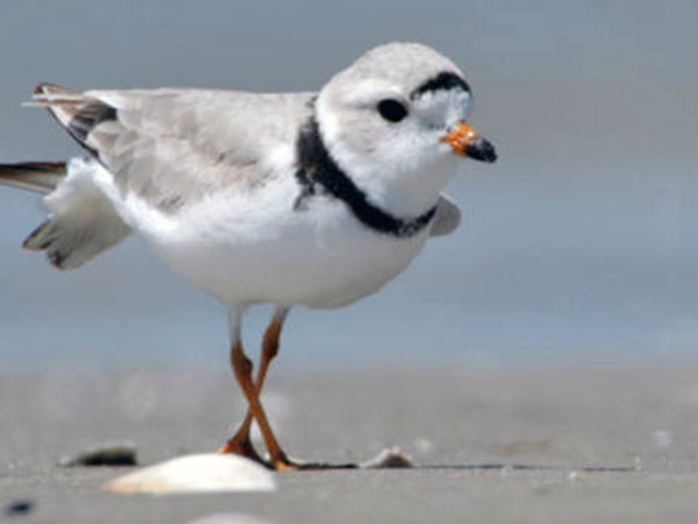 "The Audubon Society considers the piping plover ""climate"